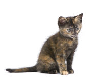 Tortoiseshell kitten (2 months) Stock Photo