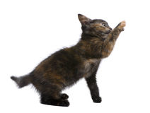 Tortoiseshell kitten (2 months) Stock Photos