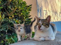 Tortoiseshell kitten and adult mother cat royalty free stock photos