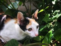 Tortoiseshell kitten cat sitting in bush and looking for victim royalty free stock photography