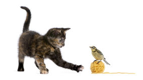 Tortoiseshell kitten playing with a blue tit. Standing on a ball of yellow wool yarn in front of white background royalty free stock images