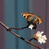 Tortoiseshell mały motyl (Aglais urticae) Zdjęcia Royalty Free