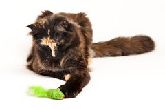 Tortoiseshell Maine Coon. Main Coon with a green mouse toy Royalty Free Stock Image