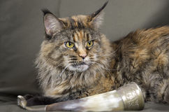 Tortoiseshell Maine coon cat Stock Photo