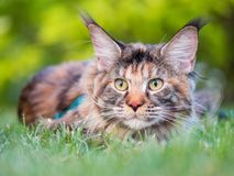 Maine Coon cat in park. Tortoiseshell Maine Coon cat with leash in backyard. Young cute female cat wearing a harness. Pets walking outdoor adventure on green Royalty Free Stock Images