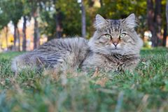 Tortoiseshell Maine Coon cat lying in grass waiting for prey. Adorable young female cat in backyard. Pets walking outdoor. Adventure in park stock photo