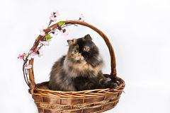 Tortoiseshell Persian. Basket is my home sweet home stock image