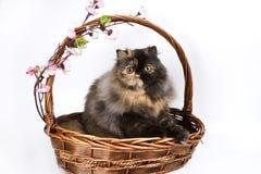 Tortoiseshell Persian. Basket is my home sweet home stock photos