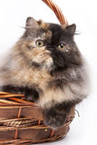 Tortoiseshell Persian. Basket is my home sweet home royalty free stock photography