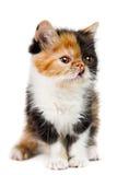 Tortoiseshell persian cat. Tortoiseshell persian kitten isolated on white background royalty free stock photo