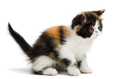 Tortoiseshell persian cat. Tortoiseshell persian kitten isolated on white background stock images