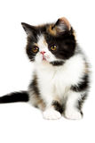 Tortoiseshell persian cat Stock Image