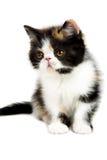 Tortoiseshell persian cat. Tortoiseshell persian kitten isolated on white background stock image