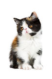 Tortoiseshell persian cat. Tortoiseshell persian kitten isolated on white background royalty free stock photo