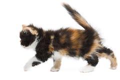 Tortoiseshell persian cat. Tortoiseshell persian kitten isolated on white background stock photo