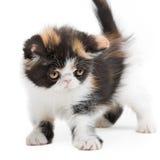 Tortoiseshell persian cat Stock Images