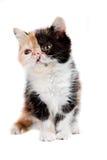 Tortoiseshell persian cat Royalty Free Stock Image