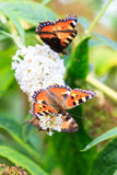 Tortoiseshell. The Small Tortoiseshell (Aglais urticae L.) on summer lilac (Buddleja davidii) in the Netherlands royalty free stock images