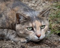 Tortoiseshell tabby cat crouching down about to pounce stock image