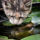 Tortoiseshell-Tabby Cat Drinking from Fish Bowl Royalty Free Stock Images