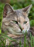 Tortoiseshell-tabby cat with grass in garden. Beautiful green-eyed tortoiseshell-tabby (torbie) cat with blade of grass in garden royalty free stock photography