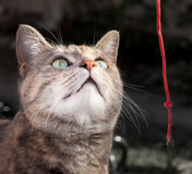 Tortoiseshell Tabby Cat Playing with Red String Stock Image