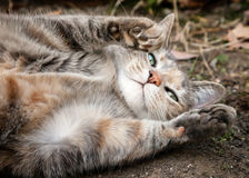 Tortoiseshell Tabby Cat Rolling on Dirt, Asking for Belly Rubs. Cute grey and ginger tortoiseshell tabby cat rolling on the dirt with paws up and looking at royalty free stock images