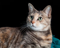Tortoiseshell-Tabby Cat Sitting on a Blanket Looking Surprised Royalty Free Stock Image
