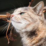 Tortoiseshell Tabby Cat Smelling a Grape Vine Branch Stock Images