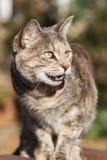 Tortoiseshell-Tabby Cat Standing and Meowing Stock Photo