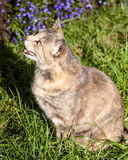 Tortoiseshell-Tabby Cat Watching a Bird and Meowing Royalty Free Stock Images