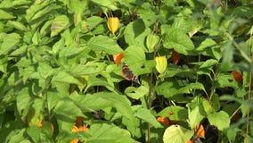 Tortoiseshell tabby motyl siedzi na plewa pomidoru liściach 4K zbiory wideo