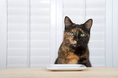 Tortoiseshell tortie cat waiting expectantly at table for food. One tortoiseshell tortie tabby cat sitting at a light wood table with square plate, white stock images