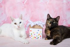 Tortoiseshell tortie cat with white heterochromia cat present between them. One tortoiseshell tortie tabby cat laying on a pink blanket next to a white kitten stock images