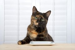 Tortoiseshell tortie tabby cat waiting for dinner at the table stock photos