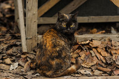 Tortoiseshell Torty fluffy cat sitting on the street Royalty Free Stock Images