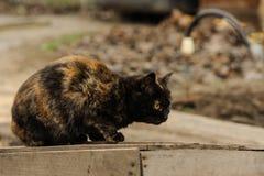 Tortoiseshell Torty fluffy cat sitting on the street Royalty Free Stock Photography