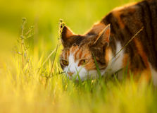 Tortoiseshell And White Cat With Ears Back. A pretty tortoiseshell cat puts her ears back as she sniffs in the sun kissed vegetation on a summer evening just stock photography