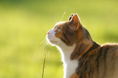 Tortoiseshell and White Cat in Meadow Royalty Free Stock Photography