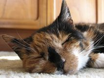 Tortoishell Cat royalty free stock photo