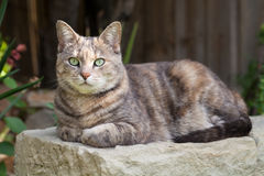 Tortoishell-tabby cat sitting on garden bench with paws folded Royalty Free Stock Photo