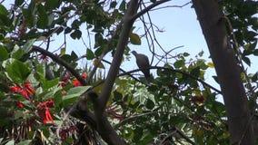 Tortora dal collare orientale euroasiatica appollaiata sull'albero video d archivio