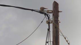 Tortora dal collare orientale euroasiatica che si siede su un palo di elettricità stock footage