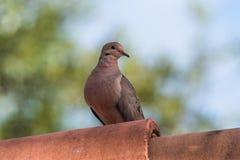 Tortora di dolore della colomba appollaiata sul tubo del metallo Fotografia Stock Libera da Diritti