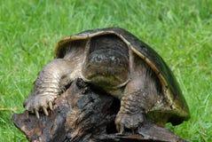 tortue étant enclenchée Images stock