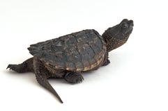 tortue étant enclenchée photo libre de droits