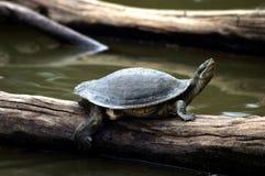 tortue étant enclenchée Photographie stock