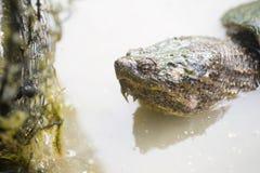 Tortue étant enclenchée commune dans l'eau Images stock