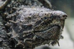 Tortue étant enclenchée d'alligator photos libres de droits