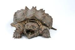 Tortue étant enclenchée d'alligator Photo stock
